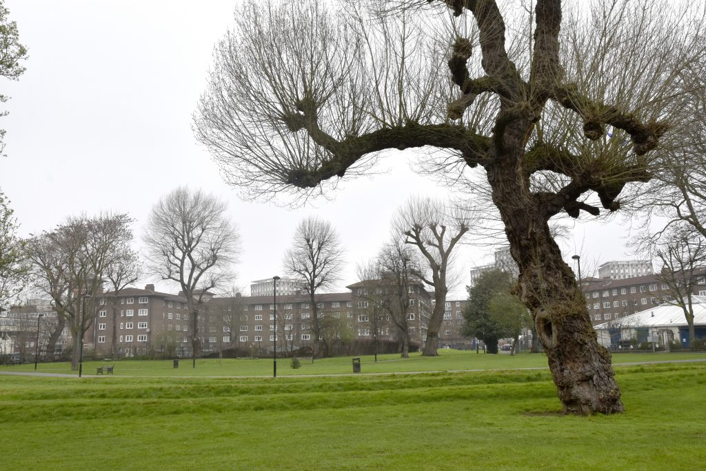 Ancient Black Poplar in Meath Gardens
