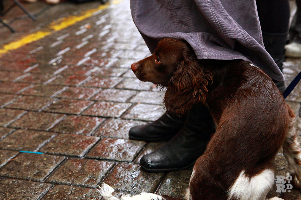 Spaniel dog hiding from rain underneath owner's coat.