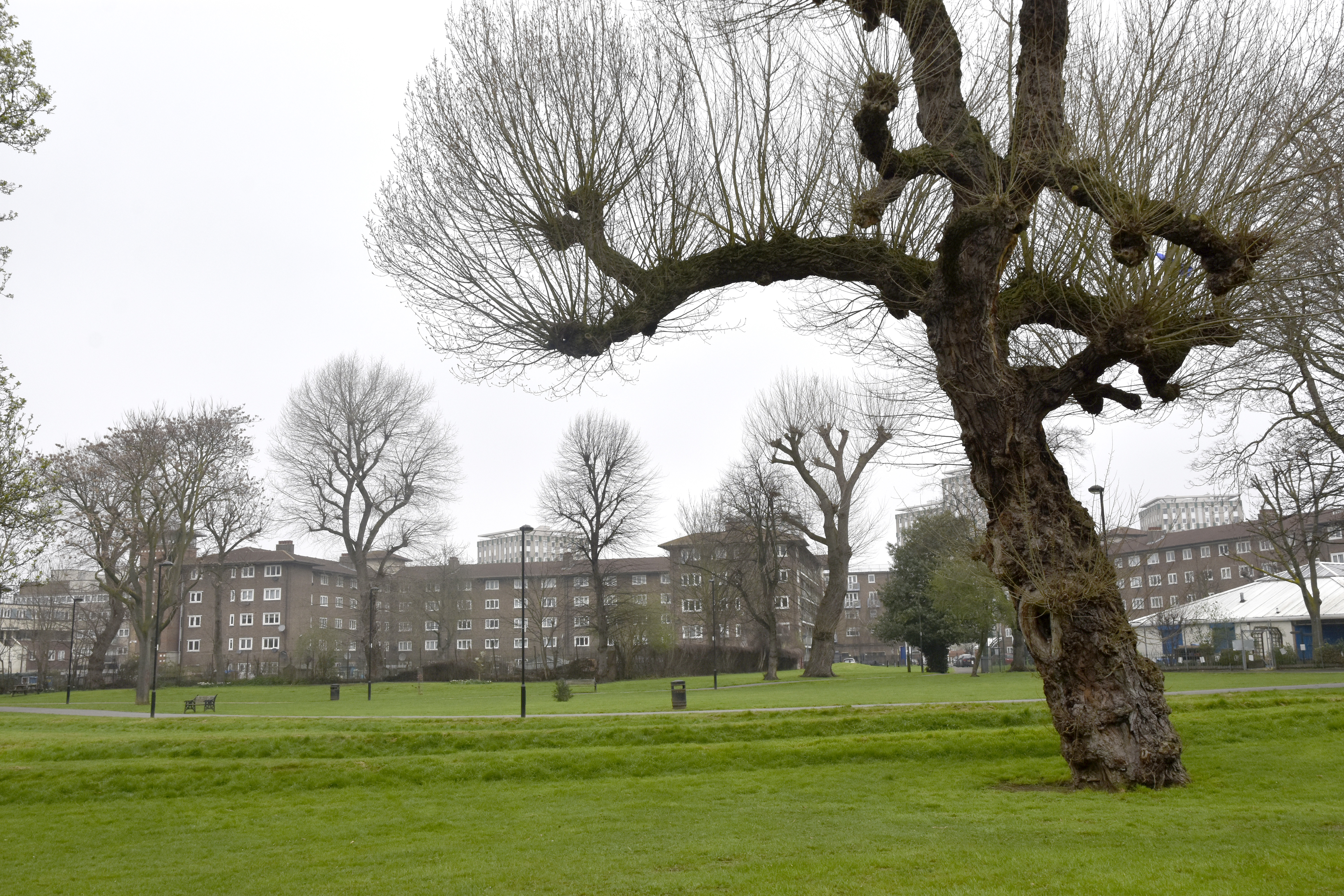 Ancient Black Poplar in Meath Gardens
