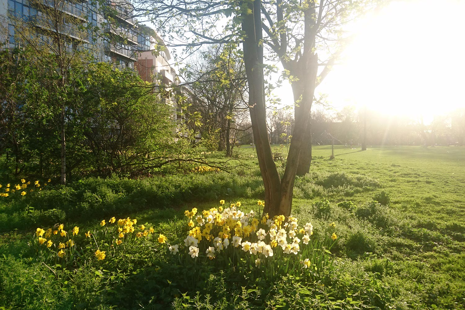 Daffodils in bloom in Meath Gardens, in East London