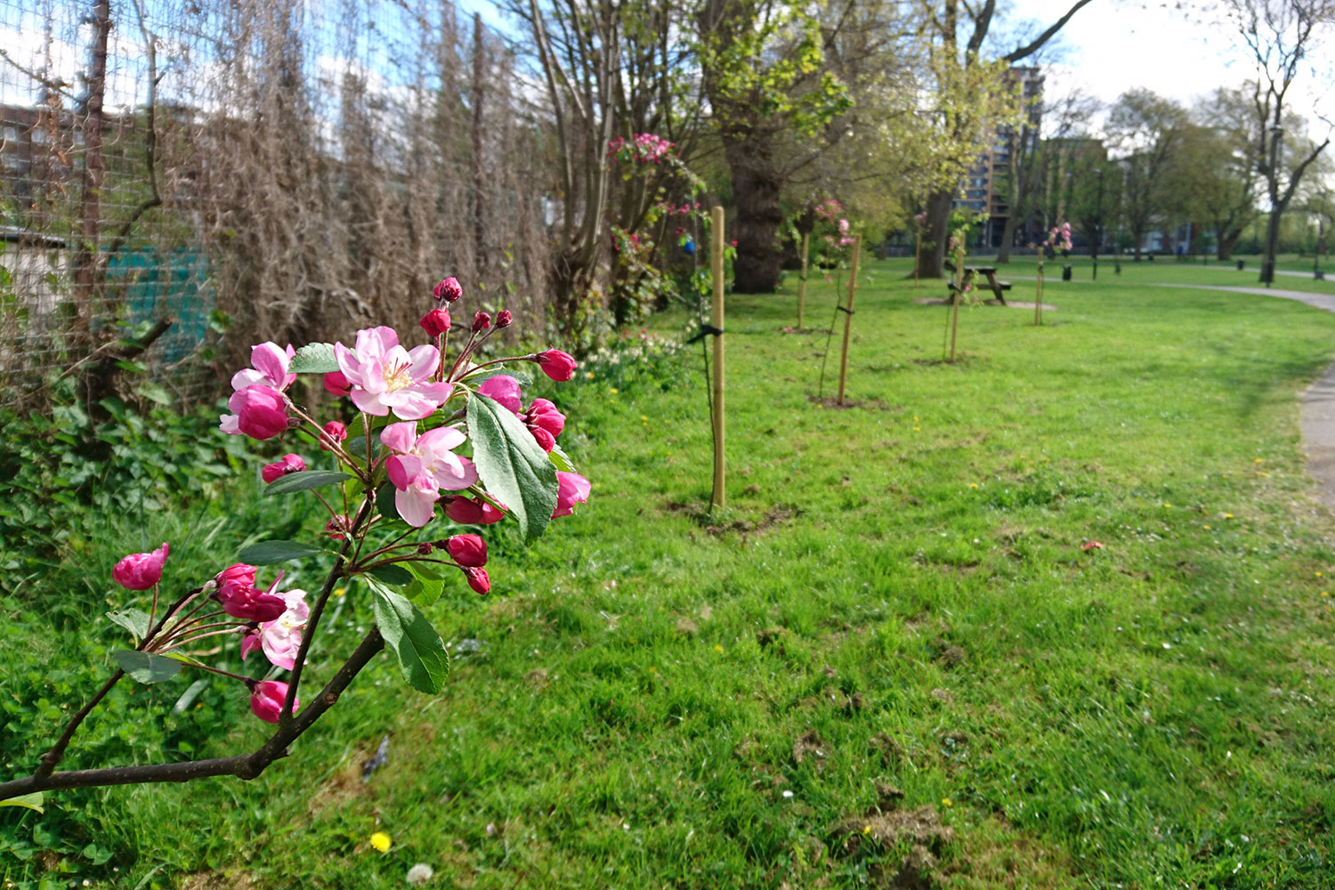 Row of newly planted crab apple trees with pink flowers in Meath Gardens, East London