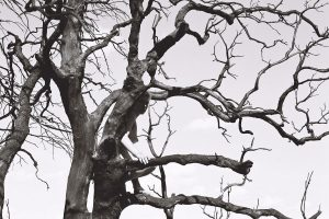 Laura Dyer black and white photograph of boy sitting in tree