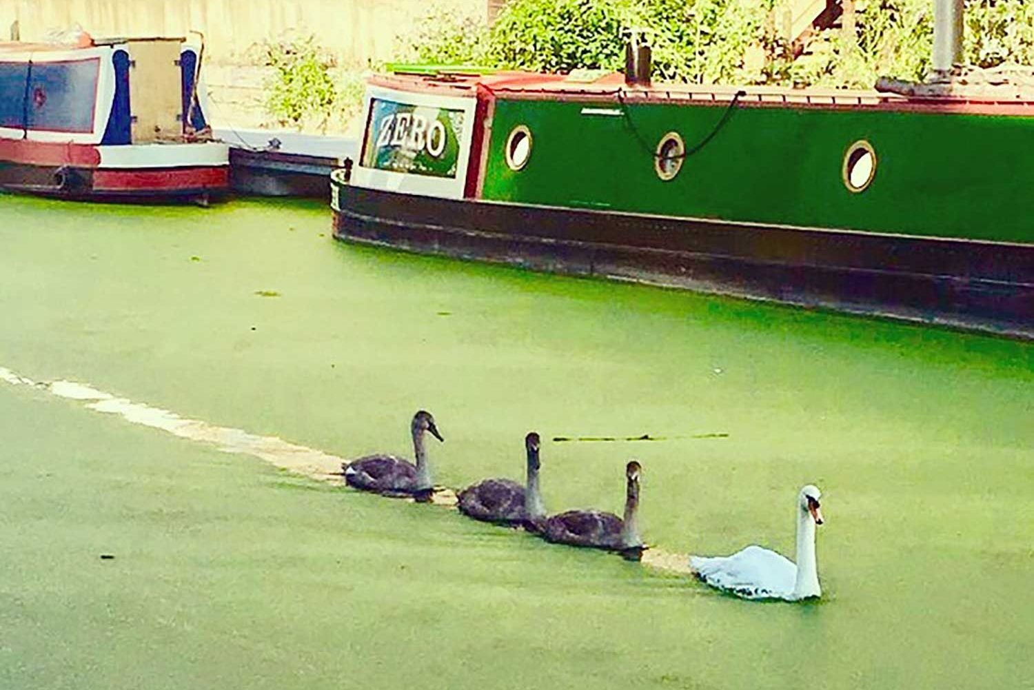 Three cygnets swim behind a swan on canal with barge in background in East London