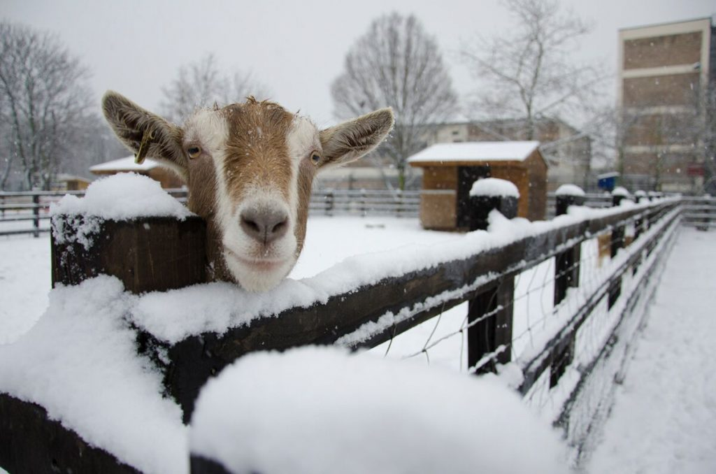 Stepney City farm in snow