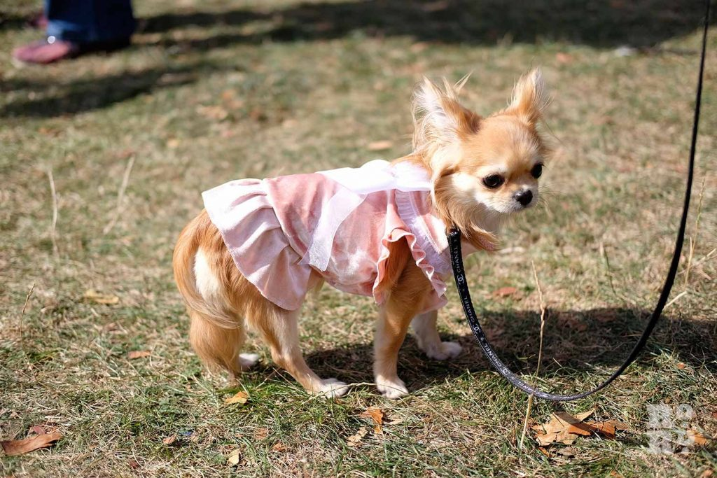 Dog wearing pink dress at the Victoria Park Dog Show