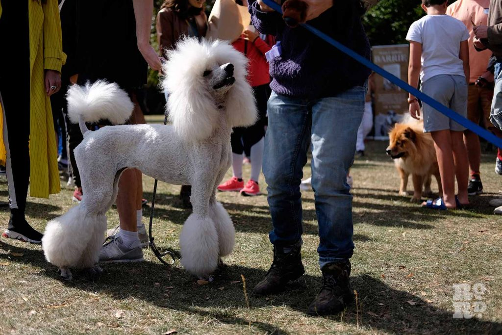 White poodle at the Victoria Park Dog Show