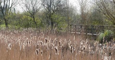 Lovely Lake reeds, Mile End Park, London