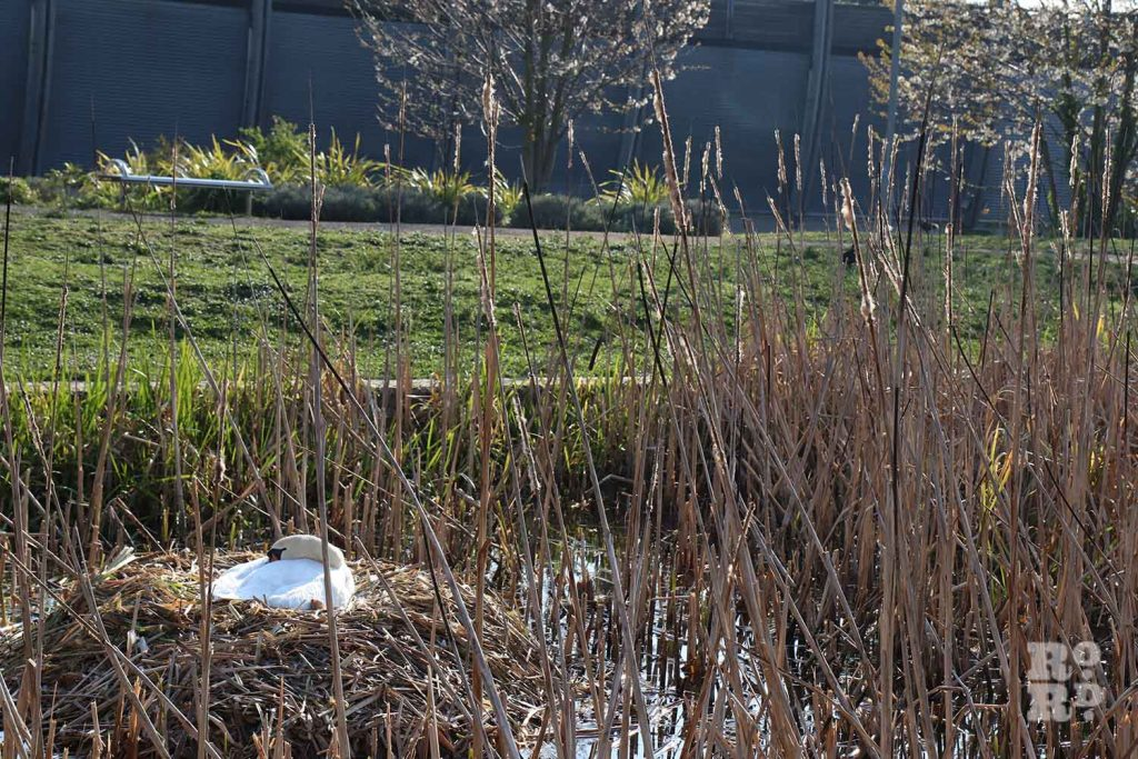 Swan nesting, Mile End Park, London