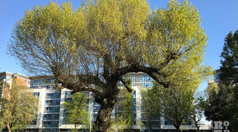 Rare black poplar tree in Meath Garden, East London.