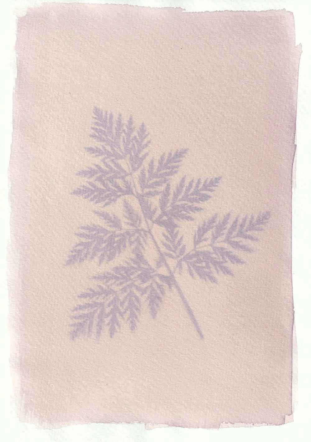 Cow parsley anthotype prints by Tim Boddy