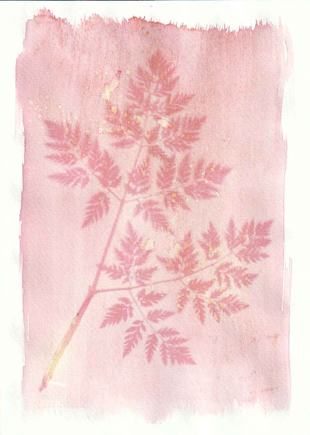 Cow parsley leaves anthotype prints by Tim Boddy