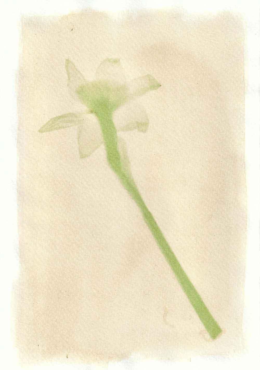 Daffodil anthotype prints by Tim Boddy
