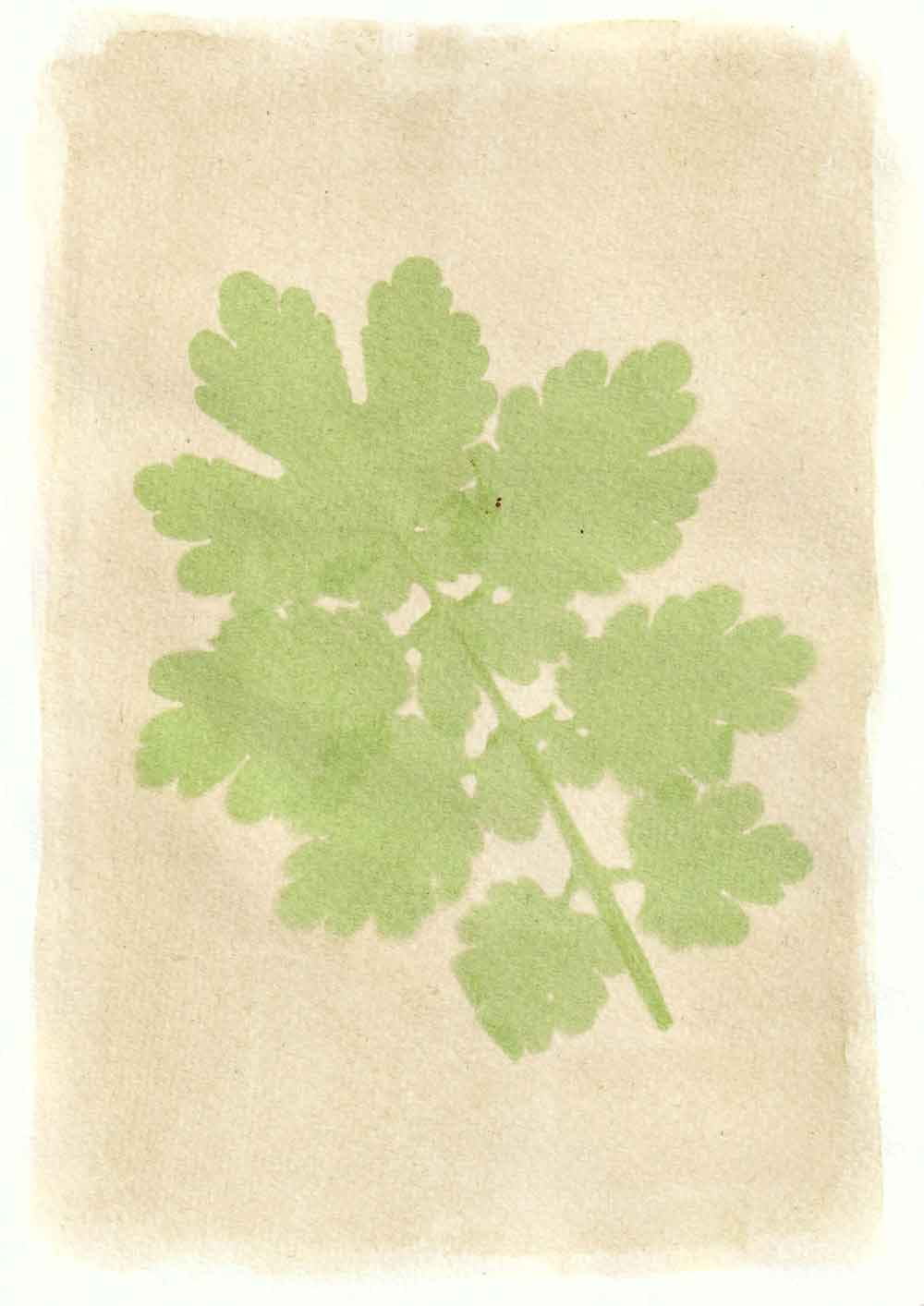 Greater celanine anthotype prints by Tim Boddy