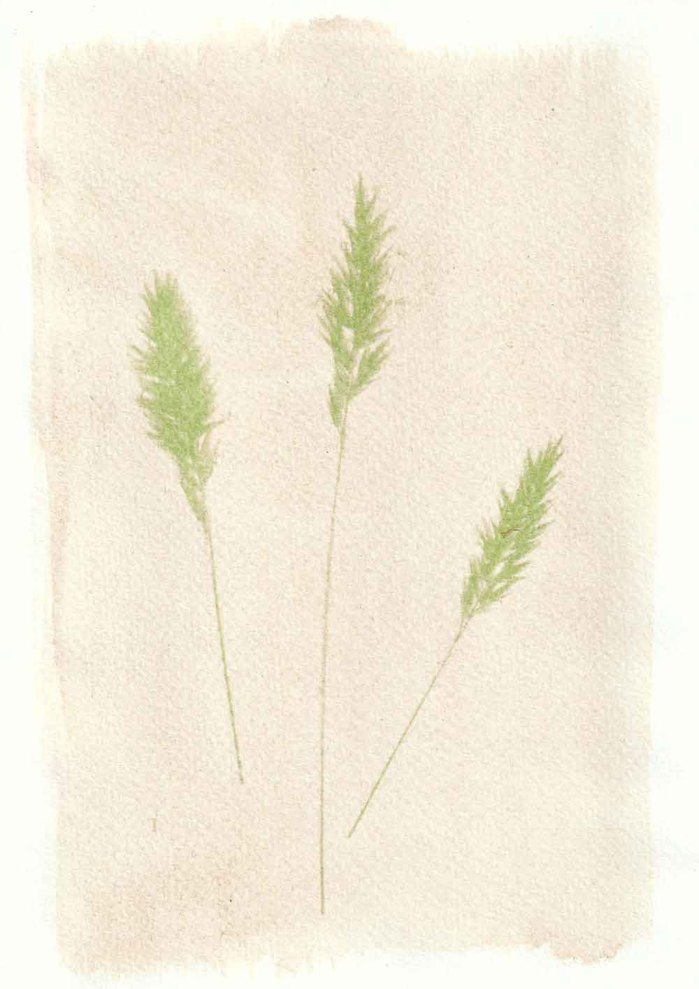 Wall barley anthotype prints by Tim Boddy