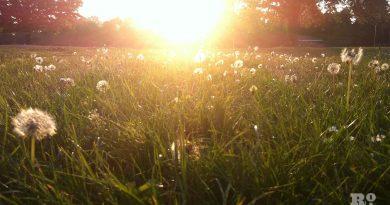 Dandelions in Victoria Park, East London
