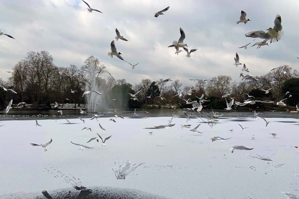 Seagulls above snowy lake, Victoria Park in the snow, 2021