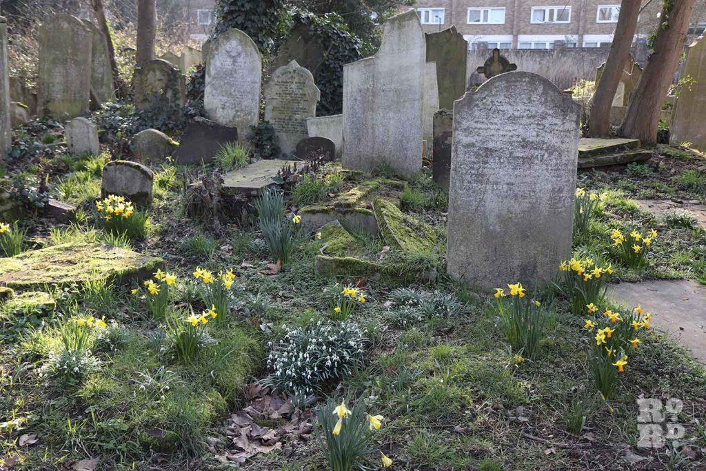 Daffodils around tumbling gravestones, Tower Hamlets Cemetery Park, spring flowers, 2021