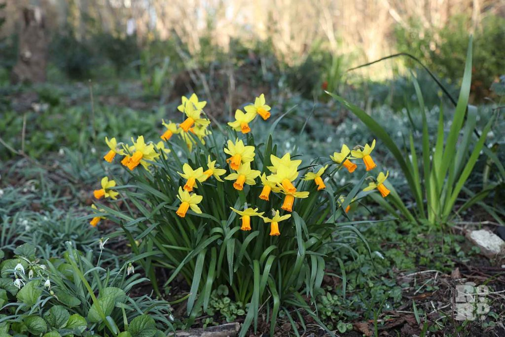 Daffodils, Tower Hamlets Cemetery Park, spring flowers, 2021