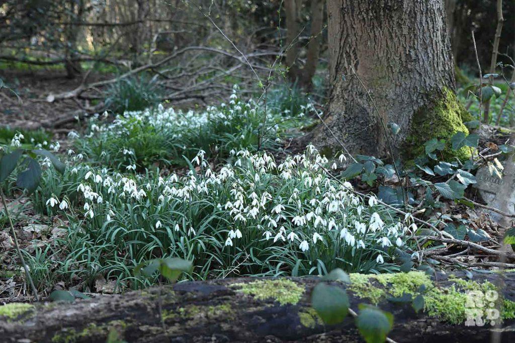 Snowdrop below a tree, Tower Hamlets Cemetery Park, spring flowers, 2021