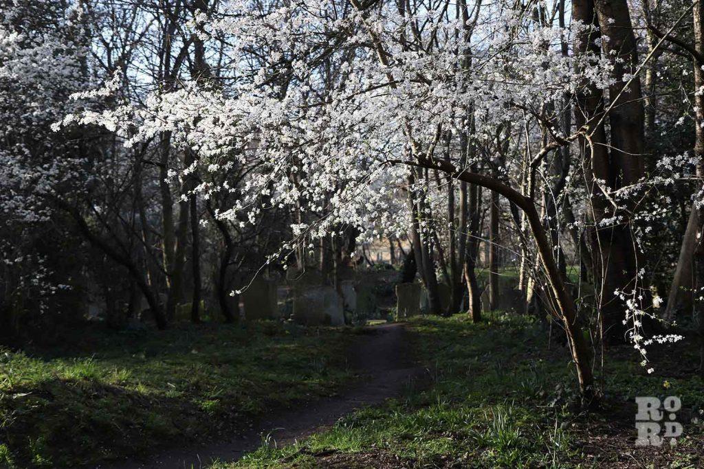 Hawthorn, Tower Hamlets Cemetery Park, spring flowers, 2021