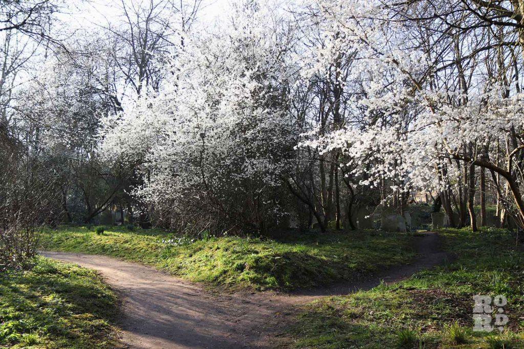 Hawthorn blossom, Tower Hamlets Cemetery Park, spring flowers, 2021