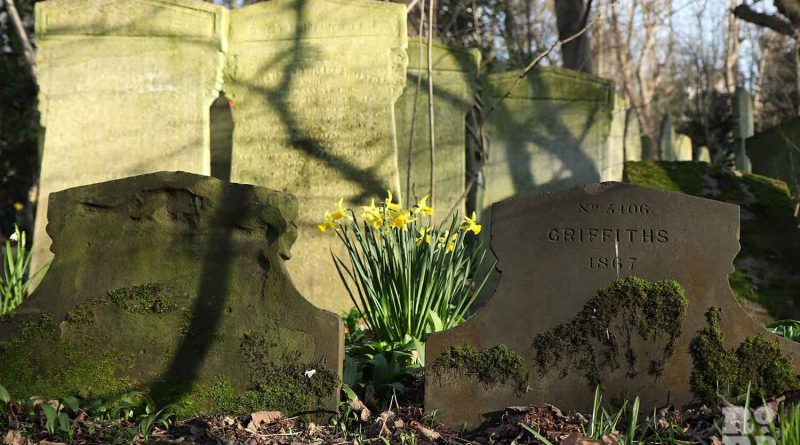 Daffodils among graves, Tower Hamlets Cemetery Park, spring flowers, 2021