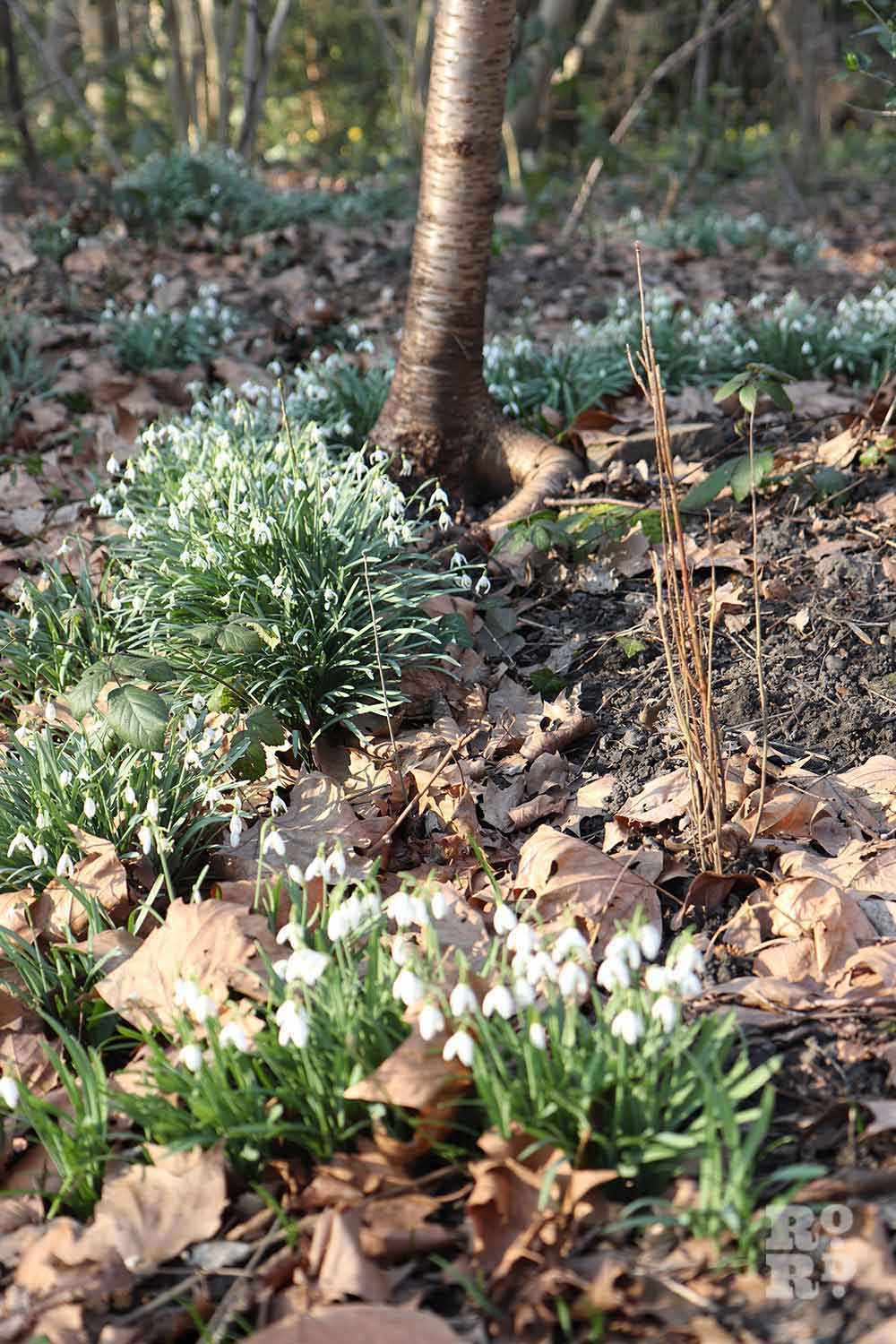 Drifts of snowdrops, Tower Hamlets Cemetery Park, spring flowers, 2021
