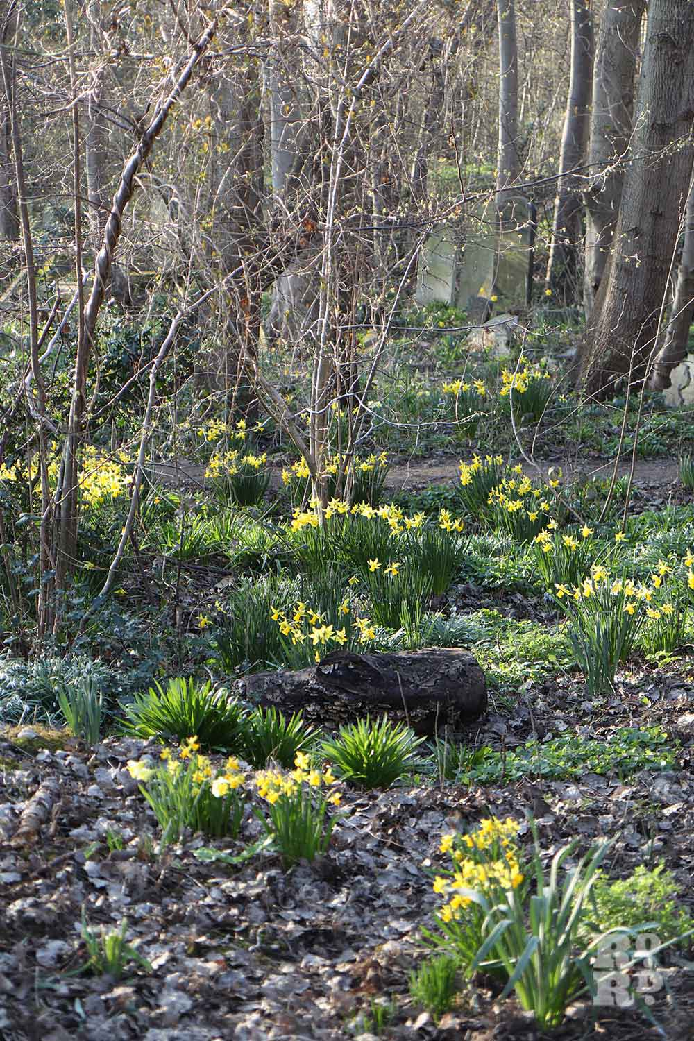 Daffodils among the trees, Tower Hamlets Cemetery Park, spring flowers, 2021