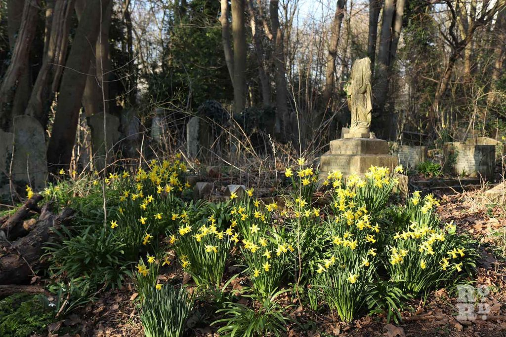 Daffodils round grave statue, Tower Hamlets Cemetery Park, spring flowers, 2021