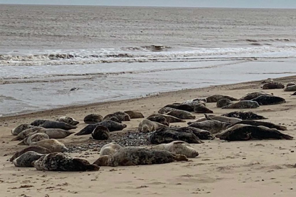 A herd of seals lie on Horsey beach, Norfolk, a favourite East End seaside holiday destination