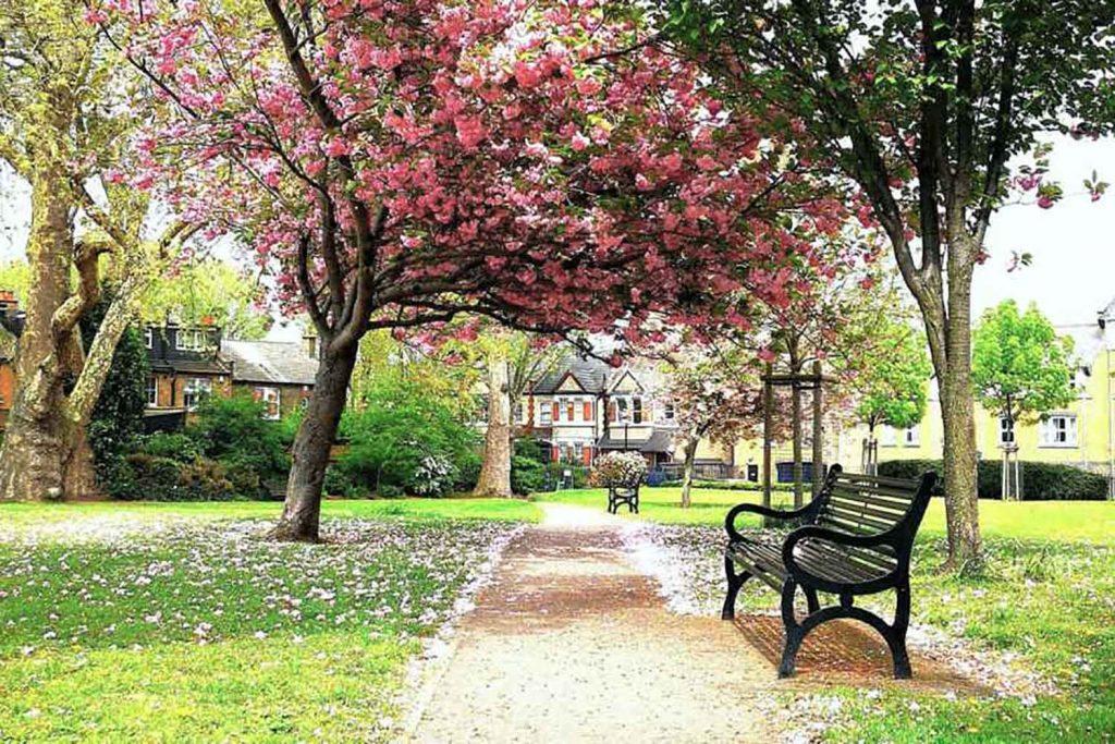 Cherry blossom in Grove Hall Park, Bow, East London.